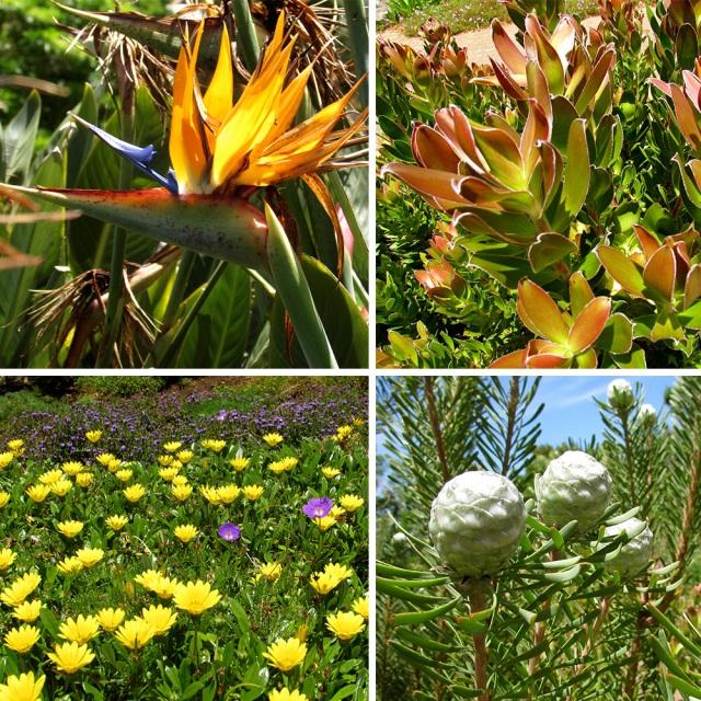 Indigenous flora at Kirstenbosch Gardens.