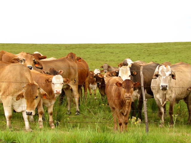 The blonde herd pf cattle peer through their boundary fence