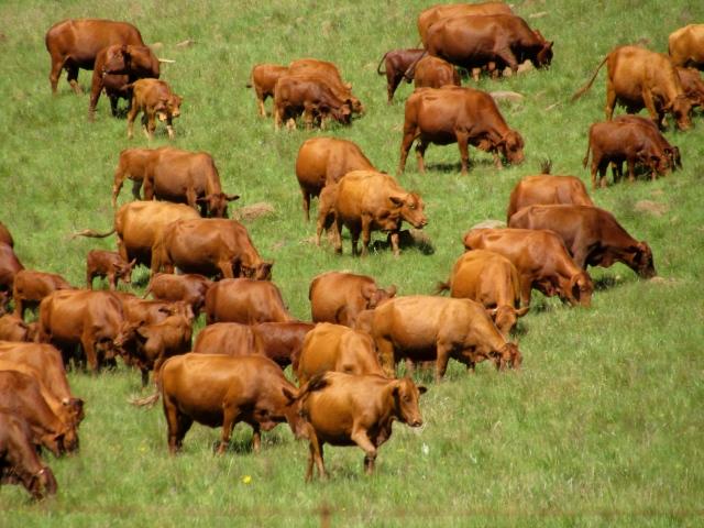 Cattle grazing the lush green grass