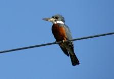 A Kingfisher bird