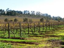 Cape winter vineyards