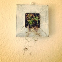 My framed air plant