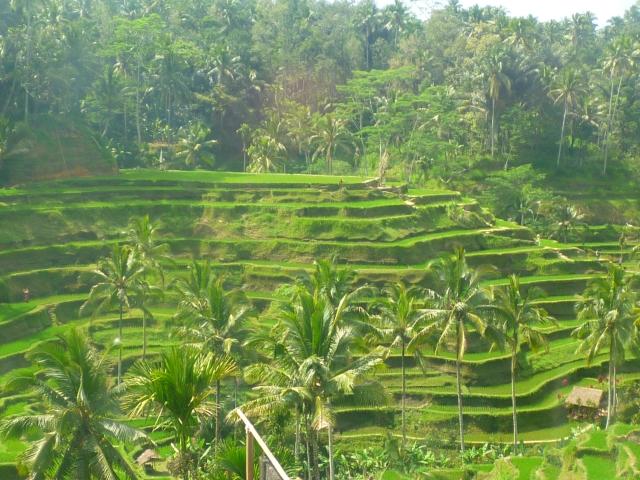 Balinese rice paddies. Pic credit: taylorheartstravel.com
