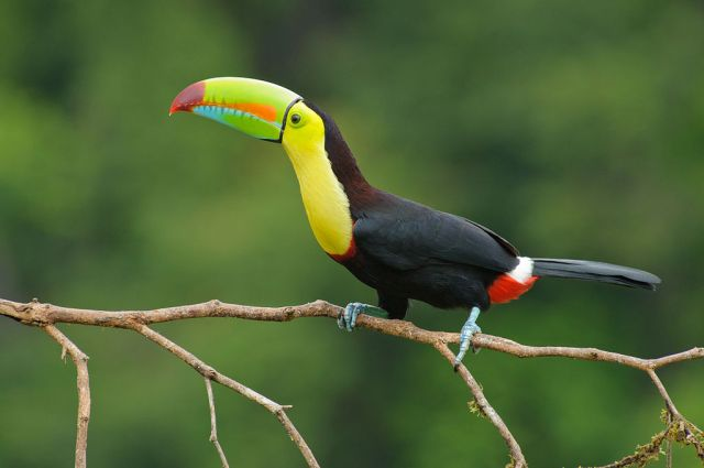 1024px-Keel_billed_toucan_costa_rica