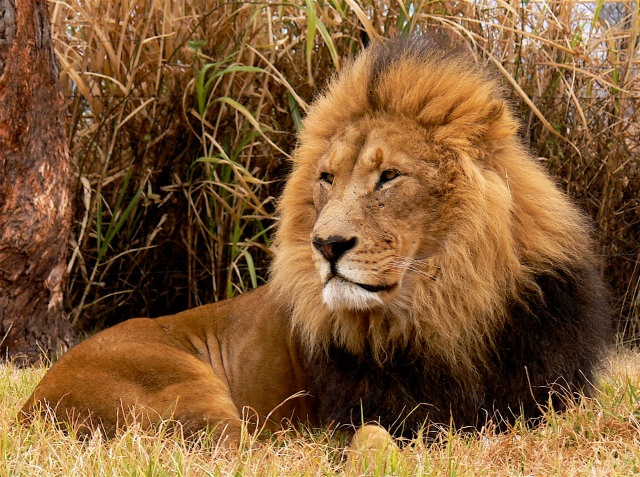 lion__s_in_south_africa_by_stoic_lamp_post