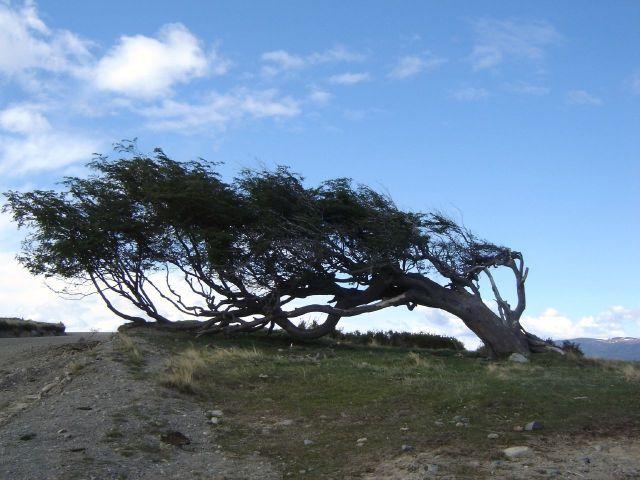 Windswept_tree_-_Ushuaia