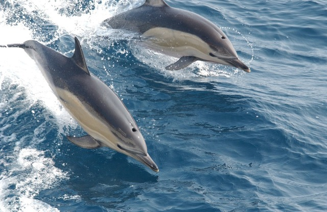 common-dolphins-914548_1280
