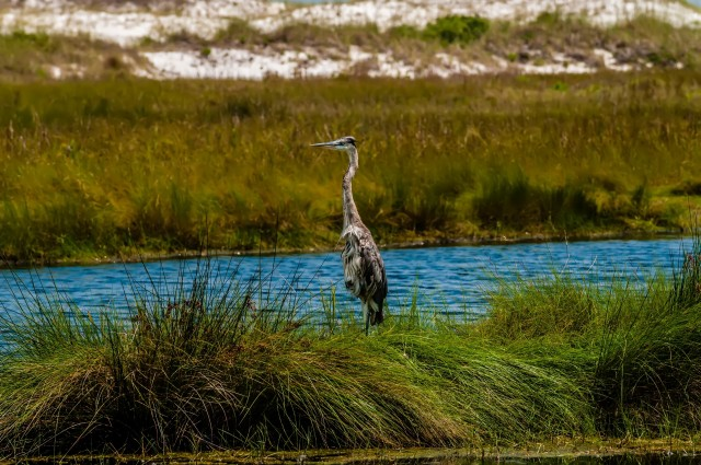 blue-heron-in-the-everglades